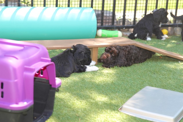 Trying to find a smidgin of shade   Portuguese Water Dog