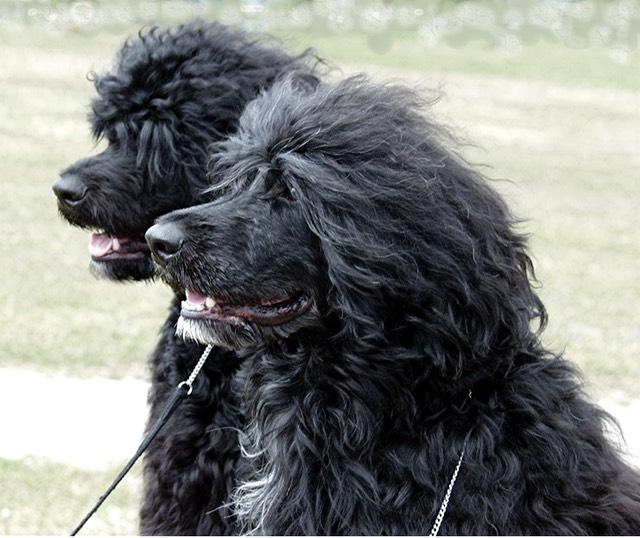 Nemeau And His Dad Hogan Portuguese Water Dog Breeder