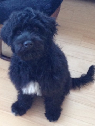 Phoebes Son Jet Home In Winnipeg Portuguese Water Dog